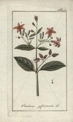 Quinine bark tree from Zorn's Icones Plantarum Medicinalium  Amsterdam  1796.
