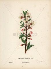 Almond  Amygdalus communis