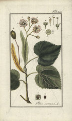Lime tree from Zorn's Icones Plantarum Medicinalium  Amsterdam  1796.