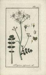 Hartwort from Zorn's Icones Plantarum Medicinalium  Amsterdam  1796.