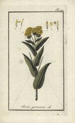 German inula from Zorn's Icones Plantarum Medicinalium  Amsterdam  1796.