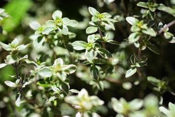 Silberthymian  Thymus vulgaris