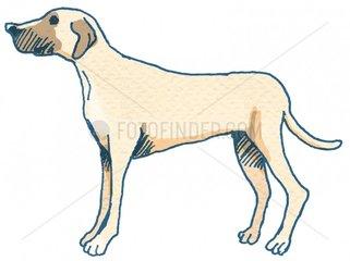 daenische Dogge