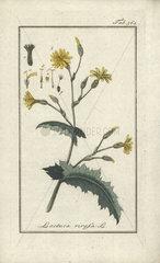 Wild lettuce from Zorn's Icones Plantarum Medicinalium  Amsterdam  1796.