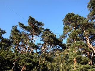 Fichtenwald auf Ruegen