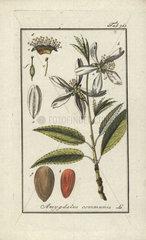 Almond tree from Zorn's Icones Plantarum Medicinalium  Amsterdam  1796.