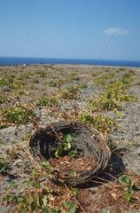 Santorin  Kykladen  Griechenland  Weinanbau