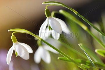 Fruehlingsboten  Kleines Schneegloeckchen  Galanthus nivalis