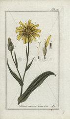 Viper's grass from Zorn's Icones Plantarum Medicinalium  Amsterdam  1796.
