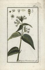 Swallow-wort from Zorn's Icones Plantarum Medicinalium  Amsterdam  1796.