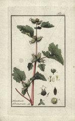 Cocklebur from Zorn's Icones Plantarum Medicinalium  Amsterdam  1796.