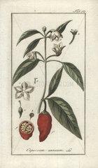 Chili pepper from Zorn's Icones Plantarum Medicinalium  Amsterdam  1796.