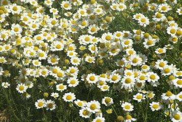 Blumenmeer auf einer Wiese