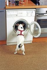 Jack Russell schaut in Waschmaschine