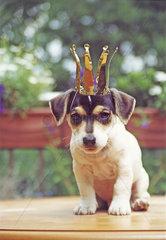 Jack Russell Terrier mit Krone