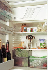 Jack Russell Terrier - Kuehlschrank