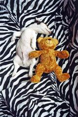Jack Russell Terrier - Schlafen Teddy