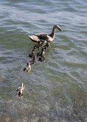 Entenfamilie am Comer See   Lago di Como