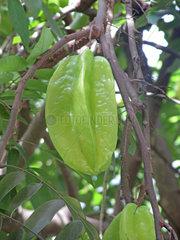 Seychellen  Sternfr__chte  Sternfrucht  Averrhoa carambola