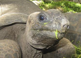 Aldabra-Riesenschildkroete  Aldabrachelys gigantea