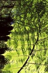Neuseeland  Suedinsel  Kahurangi National Park  Heaphy Track. Farn  Mamuku Black tree Farn Dicksonia Spezies