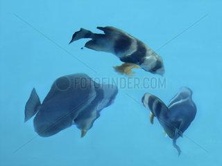 Seychellen  St. Pierre bei Praslin  Fledermausfische  Platax teira