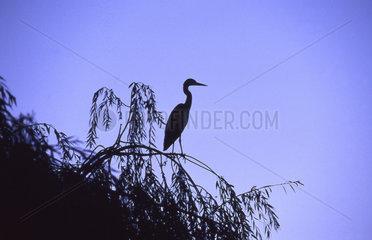 Reiher in Baum