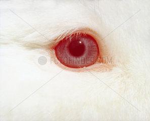 Albino Hase