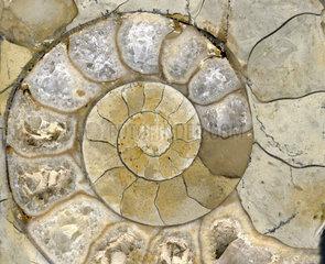 Versteinerung Muschel Spirale