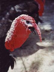 red turkey
