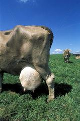 cow with big udder milk