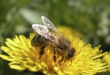eine Arbeitsbiene sitzt auf einer Butterblume