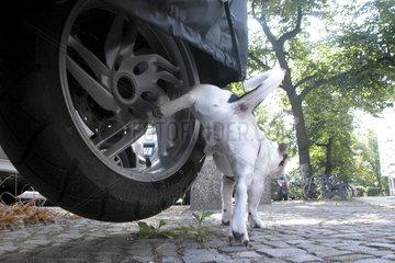 Jack Russell Terrier pisst an ein Moped