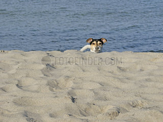 Jack Russell am Strand