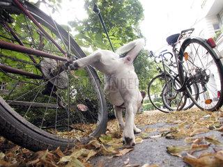 Jack Russell Terrier pisst an ein Fahrrad