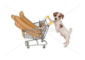 Jack Russell Welpe schiebt Einkaufswagen mit Wiener Wuerstchen