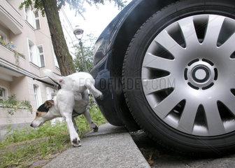 Jack Russell Terrier pisst an ein Auto