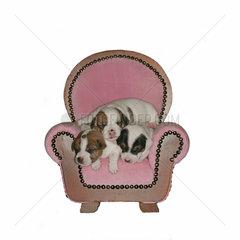 Jack Russell Terrier  Welpe