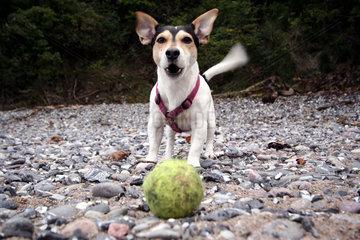 Jack Russell spielt Ball