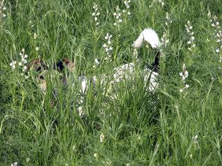 Jack Russell im Gras