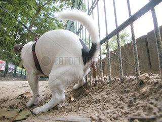 Jack Russell Terrier scheisst