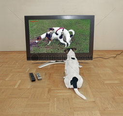 Jack Russell schaut Hundeporno Doggystyle TV