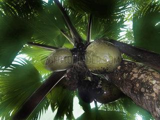 Seychellen weibliche Coco de Mer  Valée de Mai Nationalpark