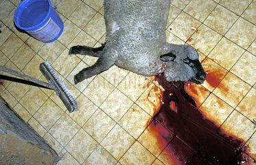 geschlachtetes Schaf   schaechten