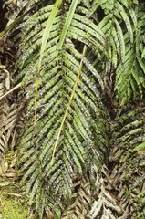 Neuseeland  Suedinsel  Kahurangi National Park  Heaphy Track. Farn  Dicksonia