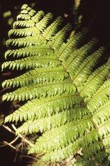 Neuseeland  Suedinsel  Kahurangi National Park  Heaphy Track  Farn  Dicksonia Spezie