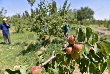 CHINA-XINJIANG-FRUITS (CN)