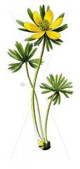 Winterling Eranthis hyemalis Giftpflanze