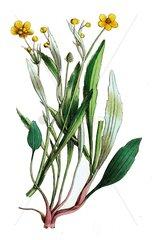 Kleiner Sumpf-Hahnenfuss Ranunculus flammula Giftpflanze