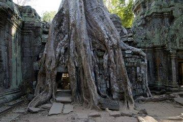 Serie Ta Prohm Siem Reap Kambodscha